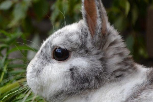 Waldenburg – Kaninchendieb unterwegs